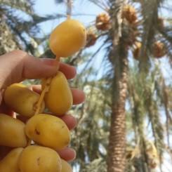 میوه گرمسیری خارک نوع حاج باقری